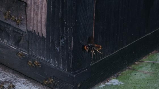 蜂洞に飛来したツマアカスズメバチ女王