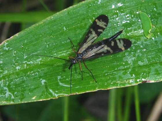 Panorpa tsushimaensis