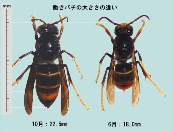 働きバチの大きさの違い