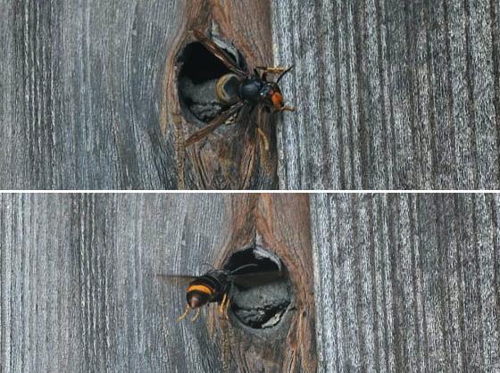 出入りするツマアカスズメバチ