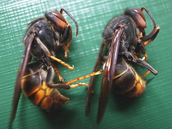 ツマアカスズメバチ 今里産