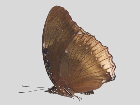 リュウキュウムラサキ大陸型