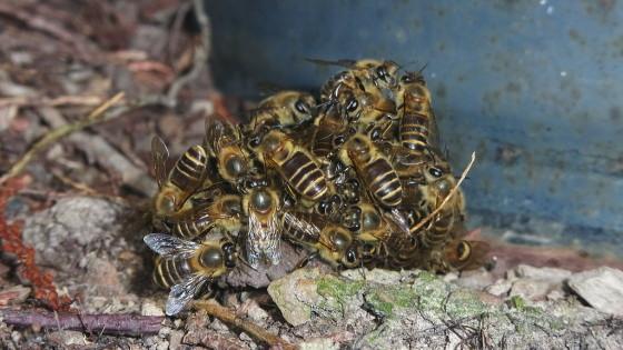 蜂球でツマアカスズメバチを絡める