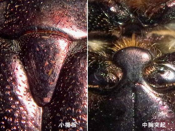 シラホシハナムグリ朝鮮半島亜種