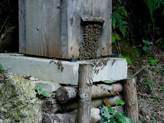 蜂洞に群がるツマアカスズメバチ