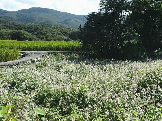 ツマアカスズメバチが飛来したオオイヌタデの群落