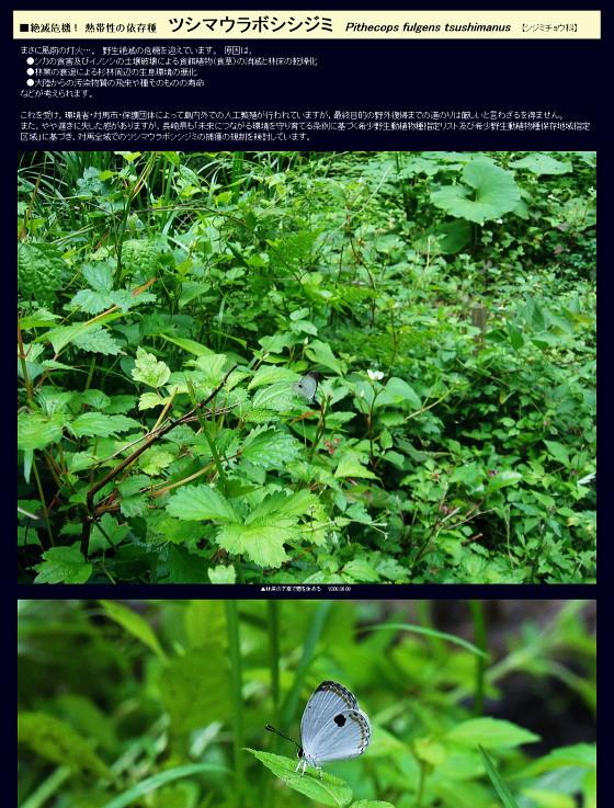ツシマウラボシシジミ