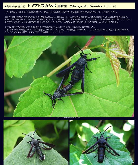 ヒメアトスカシバ黒化型