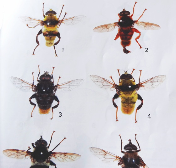 HIROOKA et al.: Revision of the Flower Fly Genus Mallota Meigen, 1822 from Japan.  JJSE 21(2):2015