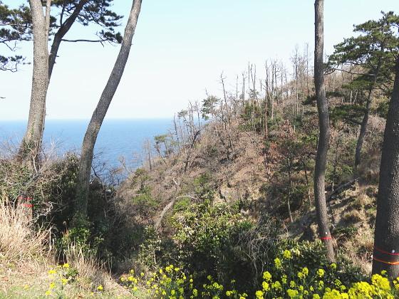 豆酘崎の松林