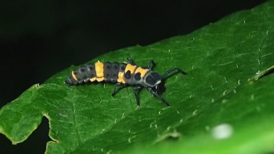 カリプソテントウ 亜終齢幼虫