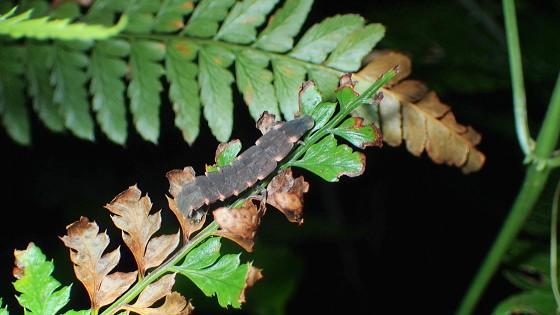 アキマドボタルの中齢幼虫