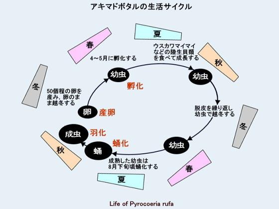 アキマドボタルの生活サイクル