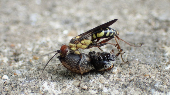 キマダラズアカクモバチ