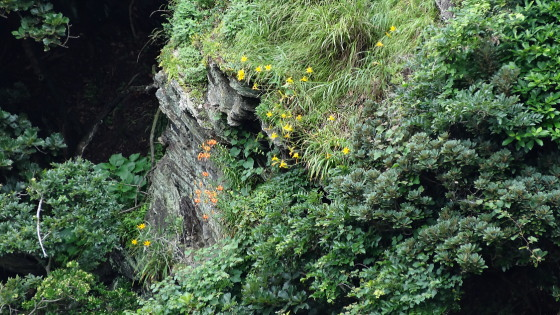 豆酘崎のハクウンキスゲ