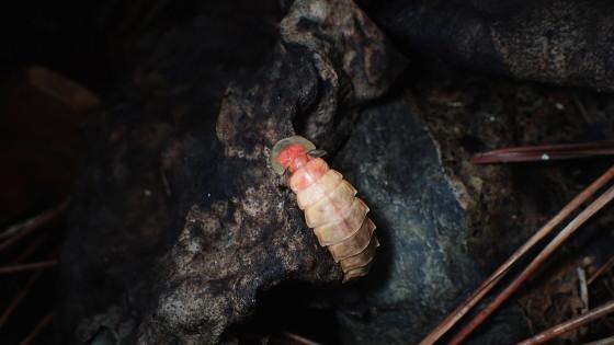 アキマドボタルの雌
