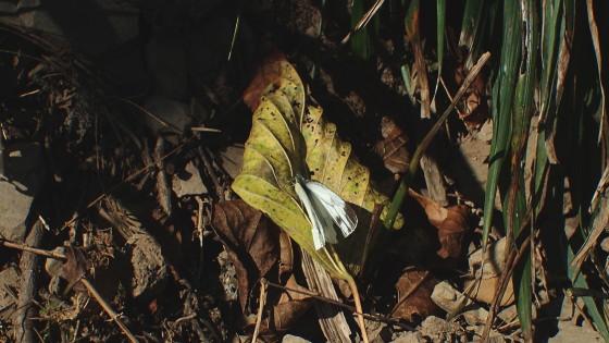 スジグロシロチョウ