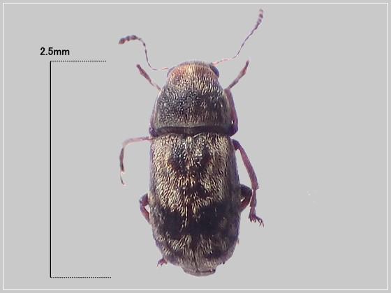 ミリ虫-19 ゾウムシの一種