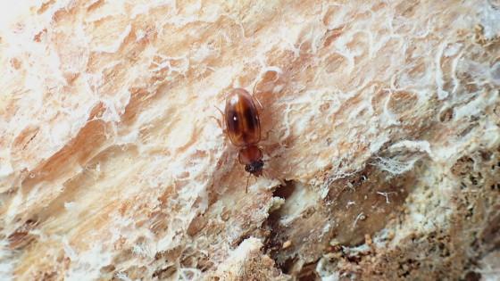ミリ虫-27 ミズギワゴミムシの一種?