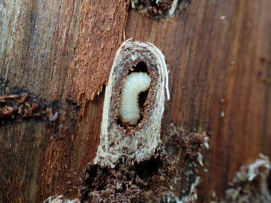 カミキリムシの幼虫