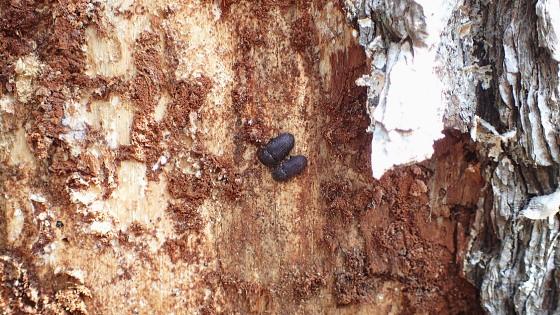 カブトゴミムシダマシ