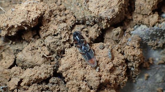 コガタクシコメツキ対馬亜種