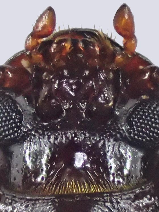 エグリゴミムシダマシの一種 下唇基節
