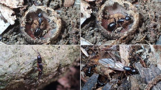 アリヅカコオロギの一種