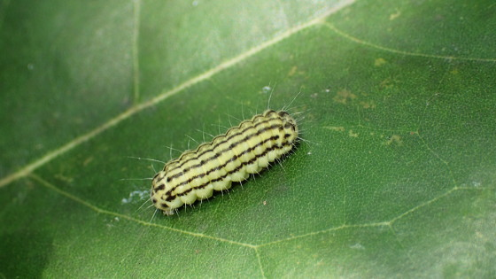 ミノウスバの幼虫