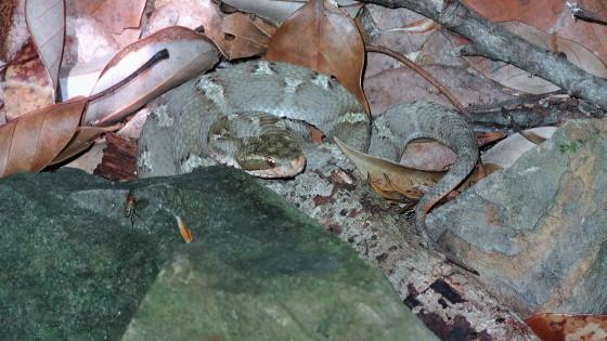 ツシママムシ 幼体