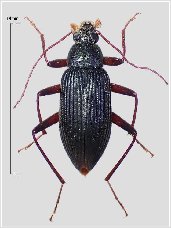 ホンドクロオオクチキムシ