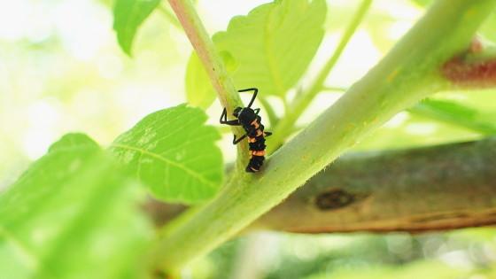 カリプソテントウの幼虫