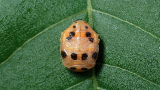 カリプソテントウの蛹