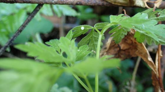 ヤブニンジンに誤産卵されたカラスアゲハの卵
