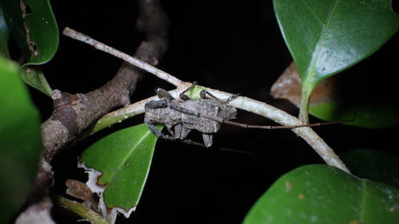 セダカコブヤハズカミキリ対馬亜種