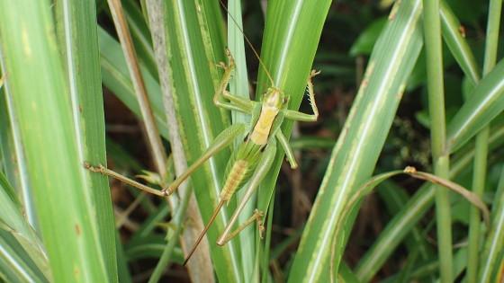 ニシキリギリス終齢幼虫