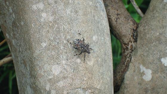 ツシマキボシカメムシ