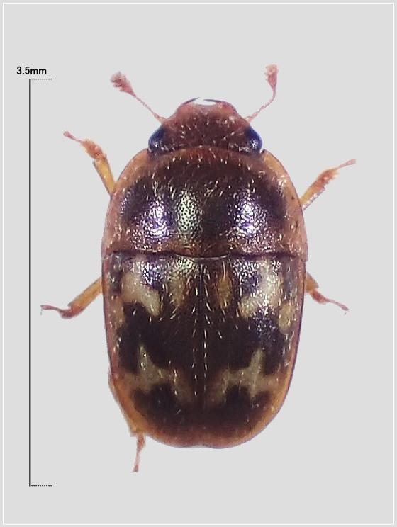 ミリ虫-42 オキナワコオニケシキスイ?