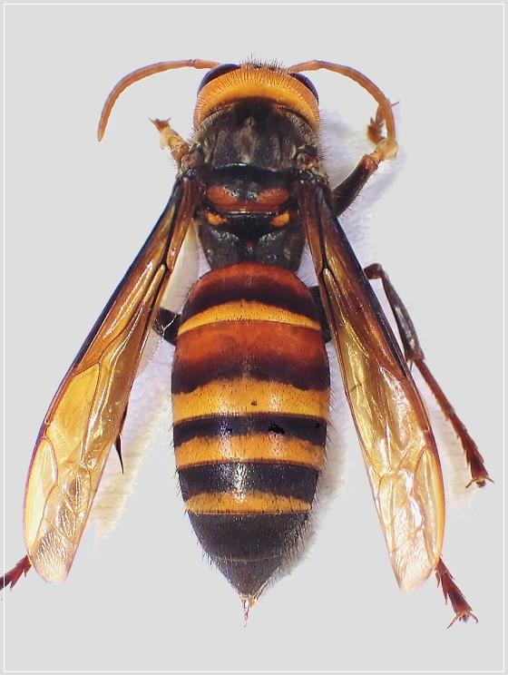 ヒメスズメバチ対馬亜種