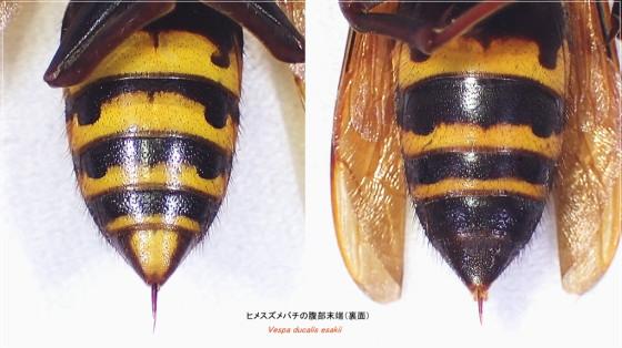 ヒメスズメバチ腹部末端