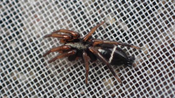 ヒトオビトンビグモ
