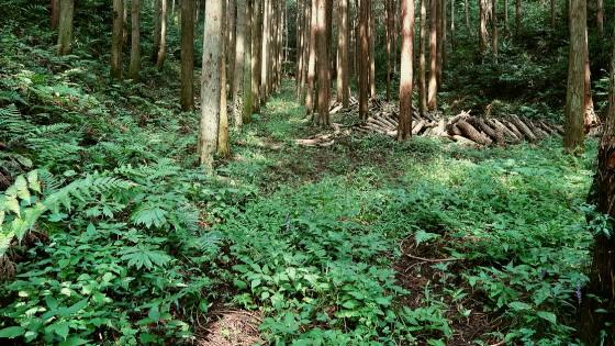 杉林の林床