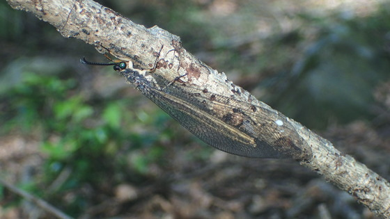 ウスバカゲロウの一種