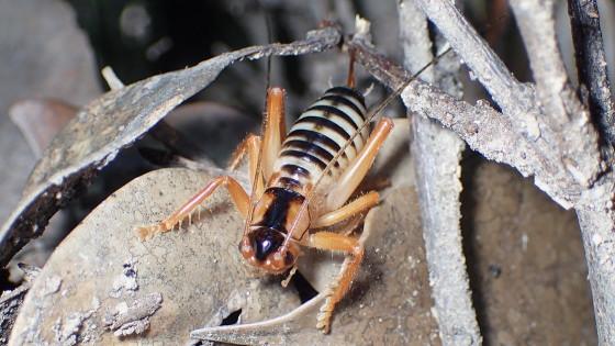 タテスジコバネコロギス