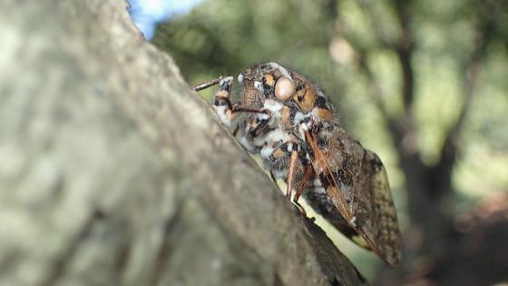 チョウセンケナガニイニイ ボーベリア菌に感染