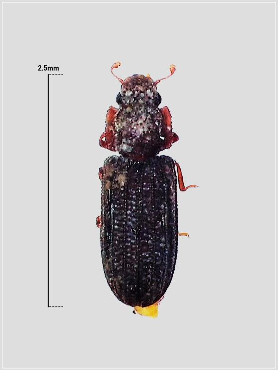 ミリ虫-52 ツヤケシヒメホソカタムシ