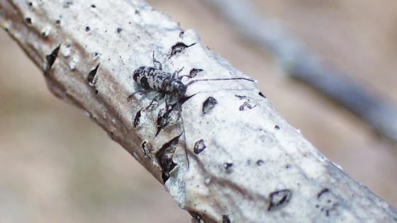 ツシマゴマフチビカミキリ