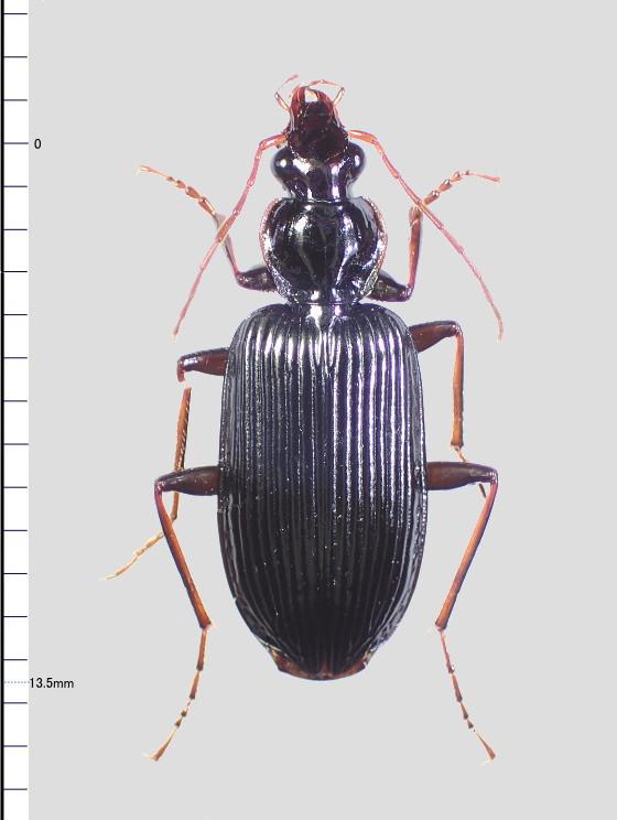 モリヒラタゴミムシ属Colpodesの一種