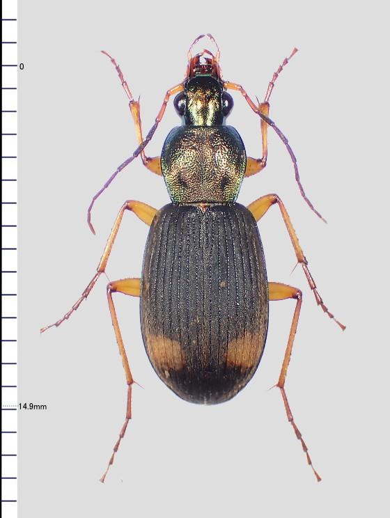 Chlaenius属の一種