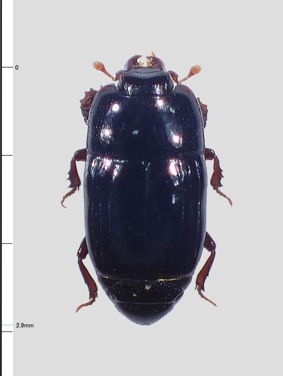 ナガエンマムシ属(Platysoma)の一種?